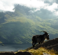King Puc grazes high above Loch Caillí...the Witches Lake